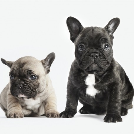 French bulldogs are set to become the UK's most popular dog