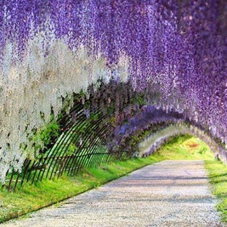 This wisteria flower tunnel in japan is the most magical Wisteria flower tunnel path in japan