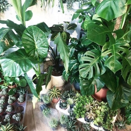 Interiors product of the week: the swiss cheese plant