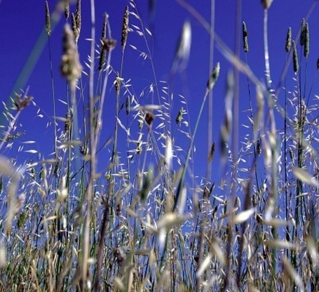 Natural hay fever solution - Getty