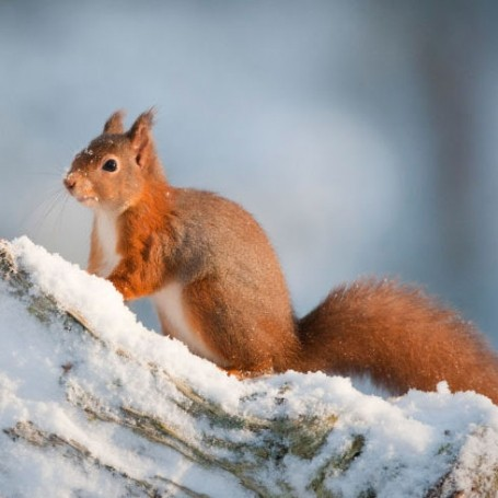 Squirrels could hold the key to better stroke treatment, study finds